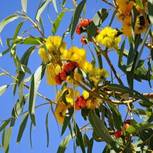 Eucalyptus erythrocorys (ilyarrie or red capped gum)