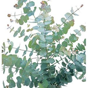 Eucalyptus cinerea or Silver Dollar
