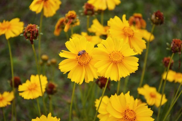 My work coreopsis image